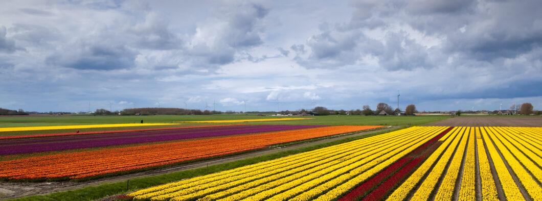 Tulpenvelden Schagen - Mediator Schagen